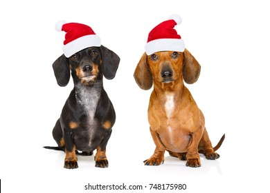 sitting and obedient couple of two dachshund or sausage santa claus dogs with red  christmas hat , isolated on white background