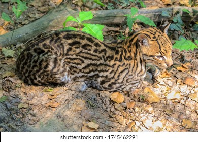 Sitting Ocelot Leopard, Leopardus pardalis species , resting in the forest. Wild cat living in rainforests of Central America and equatorial South America.