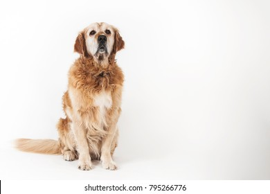 Sitting old sad dog Golden Retriever isolated on the white background
