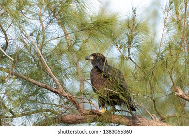 Sitting on a branch after leaving the nest, a Juvenile fledgling bald eaglet Haliaeetus leucocephalus tries to get the energy to return Marco Island, Florida in the winter.