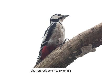 sitting on branch big woodpecker on white background