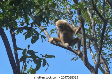 Sitting on a branch and holding while looking down, White-handed Gibbon, Hylobates lar, Thailand
