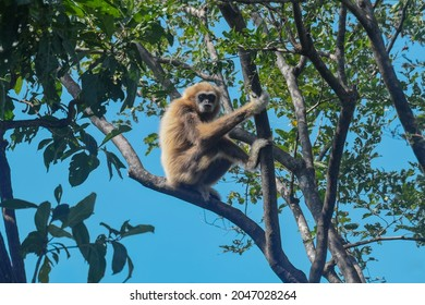 Sitting on a branch looking at the camera, White-handed Gibbon, Hylobates lar, Thailand