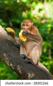sitting on the tree monkey eating banana, Phuket, Thailand