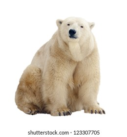 Sitting polar bear. Isolated over white background