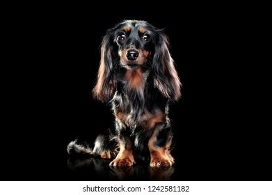 Sitting pretty long haired dachshund dog pet isolated on black