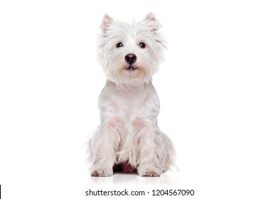 Sitting pretty west highland terrier isolated on white