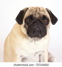 A sitting pug dog looks sad. Isolated