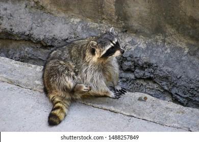 Sitting raccoon in the zoo