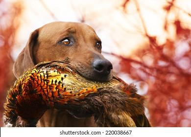Sitting rhodesian Ridgeback holds in its mouth pheasant