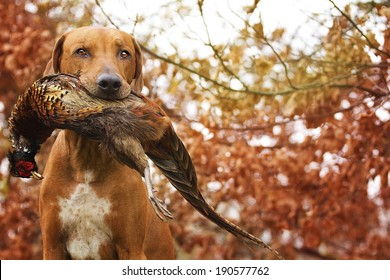 Sitting Ridgeback holds in its mouth pheasant