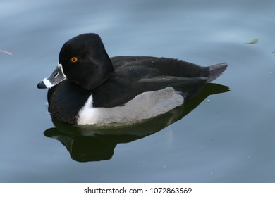 A Sitting Ring Necked Duck