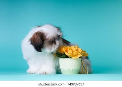 Sitting shih tzu puppy sniffing yellow flower decor on blue background