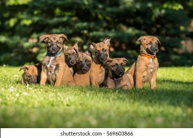 Sitting and sleeping Belgian shepherd malinois puppies