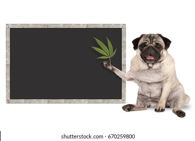 sitting smiling pug puppy dog holding hemp leaf, with blank blackboard sign, isolated on white background