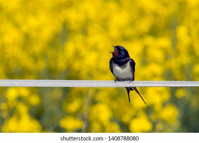 sitting swallow yellow colza background