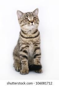 sitting tabby British kitten