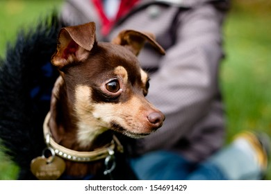 Sitting toy terrier in black coat in front of a person on a green grass
