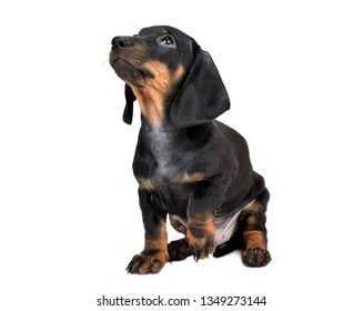 Sitting two-month smooth black and tan dachshund puppy on white background