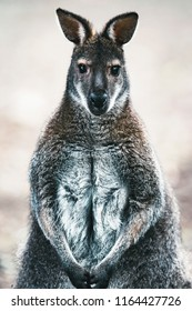 Sitting wallaby looking straight into camera.