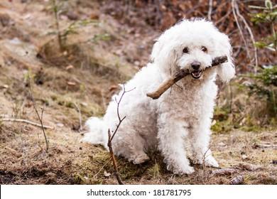 Sitting White Puli with stick
