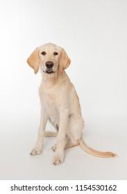 Sitting yellow lab puppy