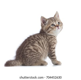 Sitting young cat full length isolated and looking up