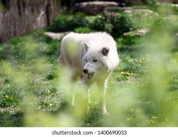 "Siut, one of the white wolves at ""Parc Animalier de Ste Croix"" in France, recognizable by his broken ear"