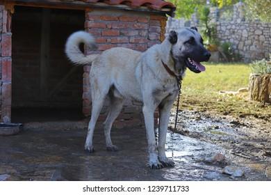 Sivas coil guard dog