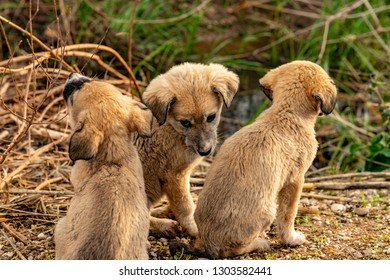 Sivas - Turkey. January 29, 2019. Anatolian Kangal Puppies in Sivas