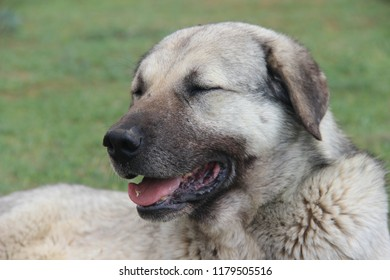 Sivas Turkey Kangal Sheepdog