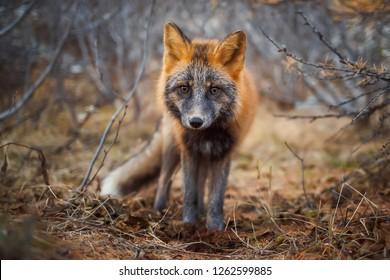 Sivodushka - a cross between red fox and silver fox. Autumn evening in October. A curious look of a Fox. Wildlife of Russia. Magadan Region, Siberia.