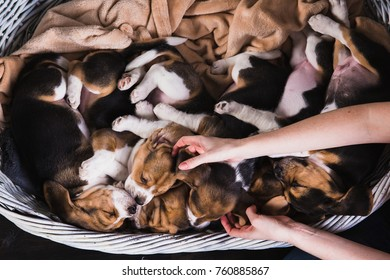 Six beagle puppies sleep in big basket on each other and women's hands touch a pup's ears