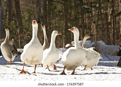 Six big geese in winter snow from ground level with forest background