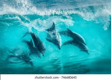 Six bottlenose dolphins surfing in waves at Sugarloaf Rocks Western Australia