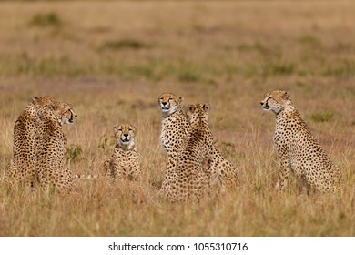 Six Cheetahs, Malaika and five males, in Masai Mara, Kenya. A rare sighting in the wilderness.