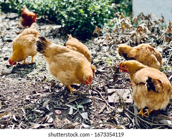 Six chickens on the floor with branches and weeds