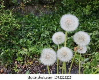 six Dandelion n the garden