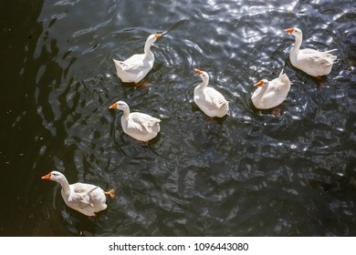 six domestic geese swimming in pond, Montenegro