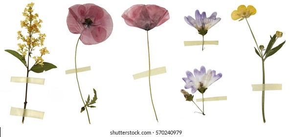 Six dry flowers isolated on white background