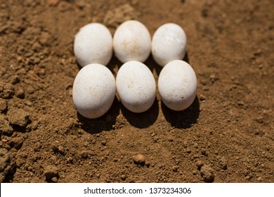 The six egg sand lizard (Lacerta agilis) is a lacertid lizard. The habitat of the reptile is in a rocky area.
