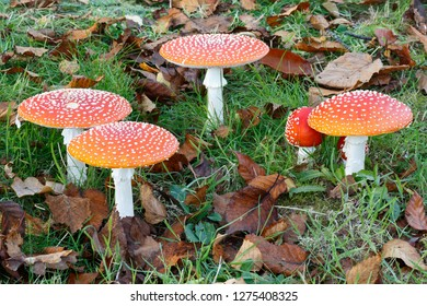 Six Fly Agaric Fungi in a field surrounded by grass and leaves