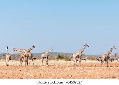 Six giraffes and a herd of Burchells Zebras at the Rateldraf waterhole in North-Western Namibia.
