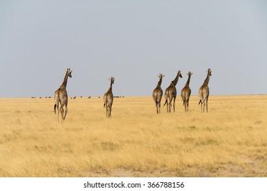 Six giraffes walking. Snamibia, africa.