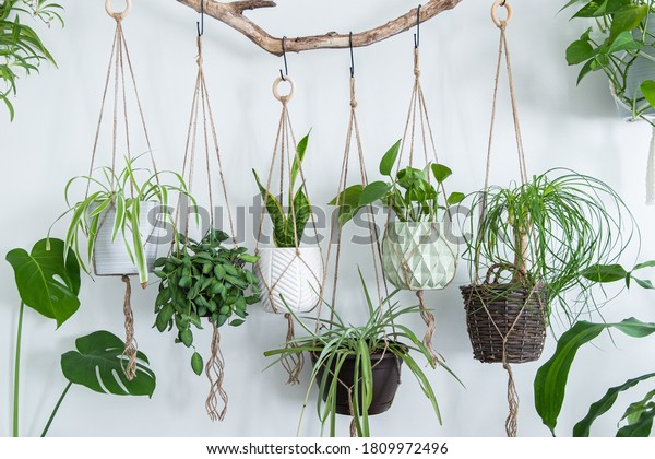 Six jute twine macrame plant hangers are hanging from a driftwood branch. Some of them have wooden rings used as decor to add character to the crafts. A nice variety of plants and pots are used.