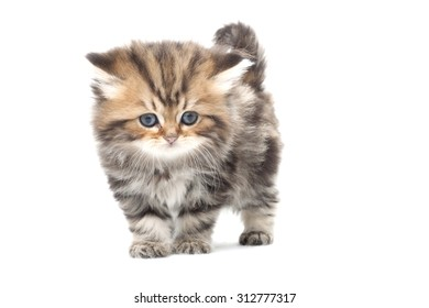 Six month old kitten on white background