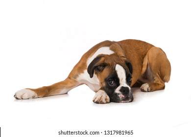 Six months old boxer lying tired isolated on white background