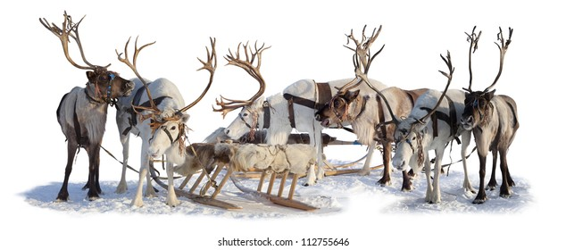 Six northern deer are in harness on white background.