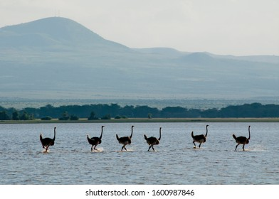 Six Ostriches stride across a shallow temporary lake in Amboseli Game reserve in Kenya, East Africa