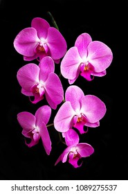 six pink phalaenopsis orchid flowers with black background